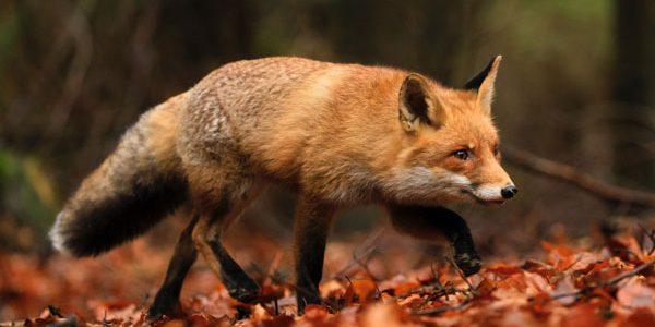 Der Fuchs und seine Lage im Lenormand